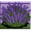 Herbaceous Perennial
